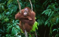 Huwelijksreis Maleisie - prachtige natuur waaronder orang oetans in Borneo