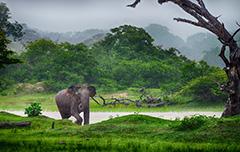 Een olifant midden in de groene natuur van Sri Lanka
